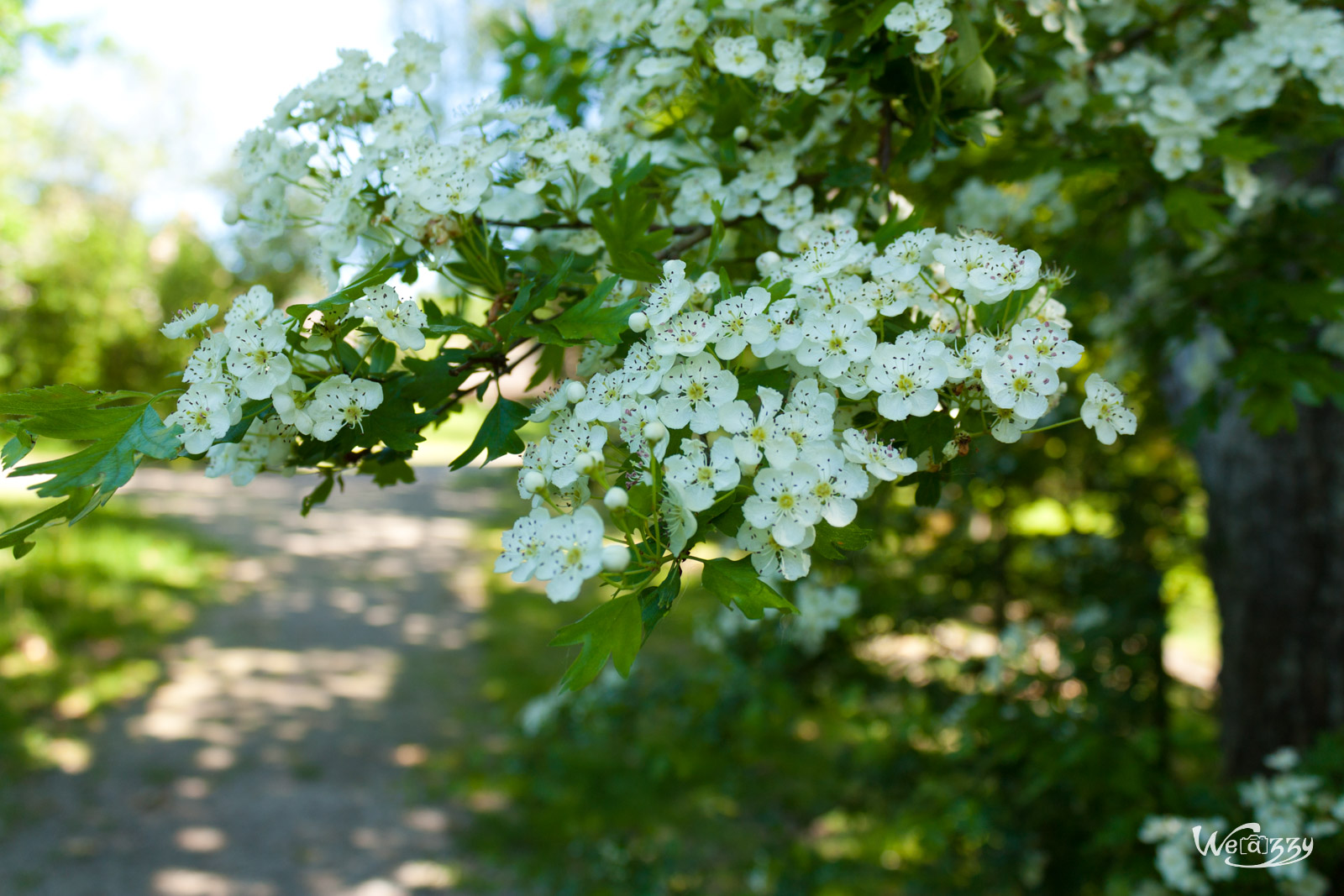 Fleurs de meurisier