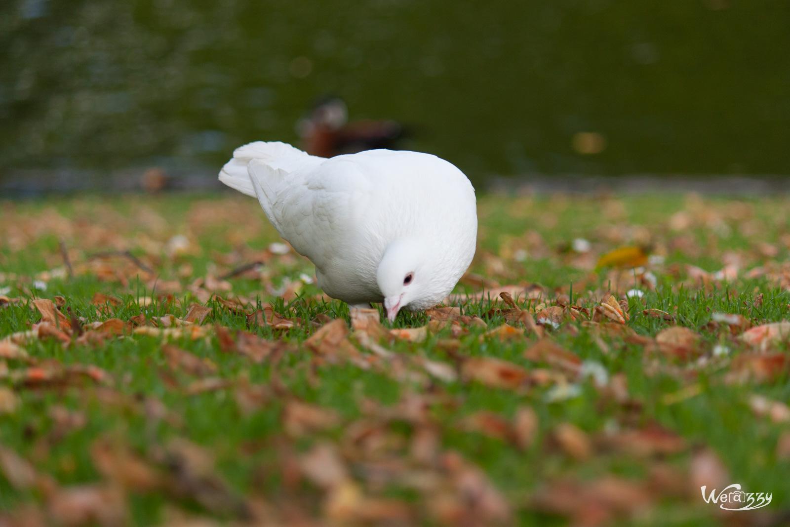 Pigeon blanc