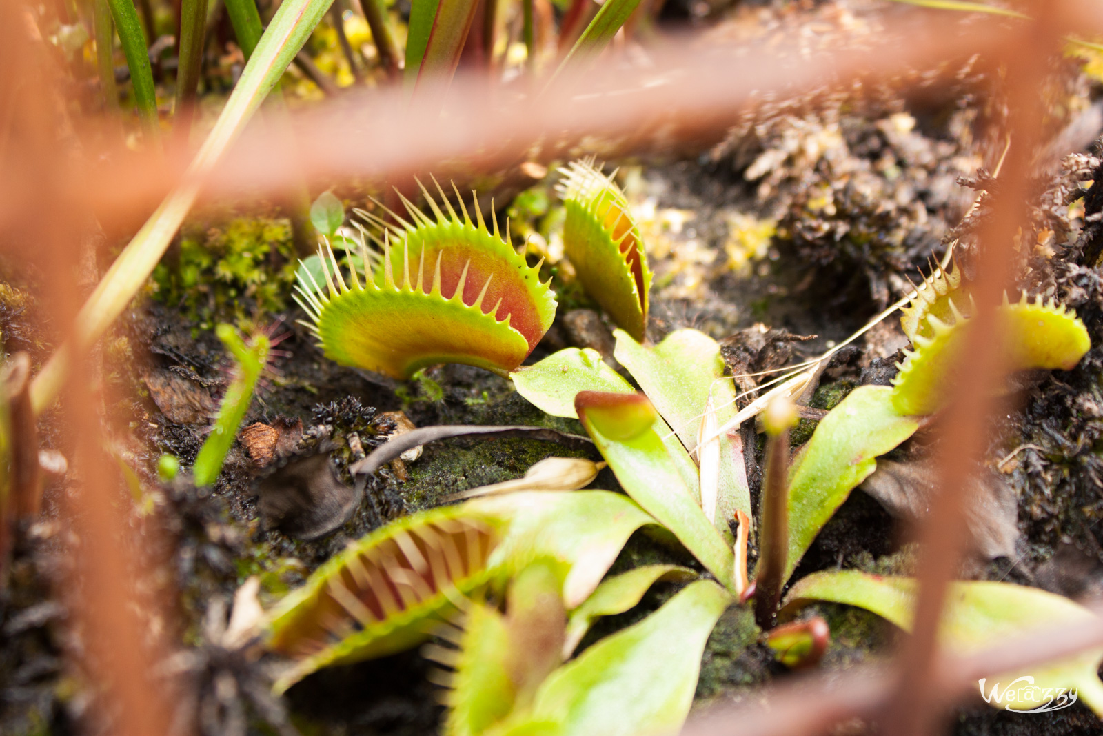 Plante carnivore 3